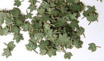 Plus Model Maple Green Leaves (juhar)