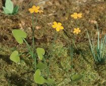 Model Scene Marsh Marigold