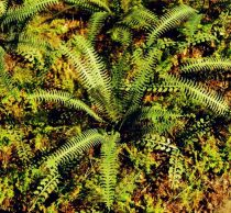 Model Scene Tropical Fern
